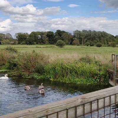 swans on river and view over fields